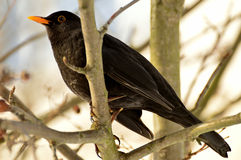 Male blackbird. Female blackbird sitting on a branch on a cold morning Stock Photos