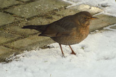 Male blackbird. Female blackbird in the snow looking for food Royalty Free Stock Photos