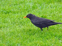 Male blackbird foraging for food on lawn. Photo of a male blackbird foraging for food to feed the babies during may 2018 Stock Photos
