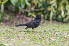Male blackbird on grass. Male blackbird standing on grass Stock Photos