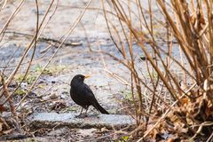 Male blackbird on the ground Stock Photo