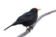 Male blackbird isolated on white background Royalty Free Stock Photography