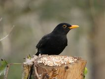 Turdus merula - a male Blackbird perched, side view with feed stock images