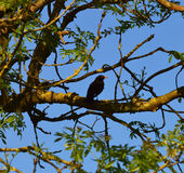 Male Blackbird Perches in Tree Royalty Free Stock Images