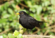 Male Blackbird Stock Photo