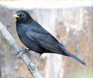 Male Blackbird Stock Image