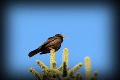 Male blackbird singing in spring Stock Images