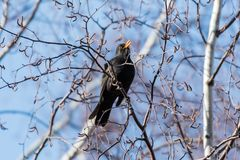 Male Blackbird singing from a tree Royalty Free Stock Photos
