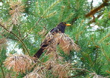 Male blackbird sitting on a pine tree Stock Photos