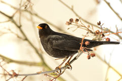 Male blackbird. Sitting on a rowan in the winter morning Stock Images