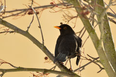 Male blackbird. Sitting on a rowan in the winter morning Stock Photography
