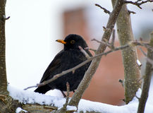 Male blackbird. Sitting on a tree in winter morning Royalty Free Stock Photography