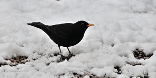 Male Blackbird in the snow. Stock Image