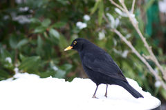 Male blackbird in the snow with worm Stock Images