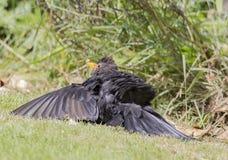 Male Blackbird sunbathing Royalty Free Stock Photos