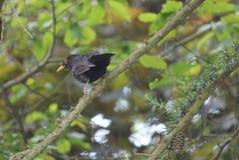 Male blackbird at a tree Royalty Free Stock Photo