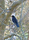 Male blackbird on a tree Stock Images