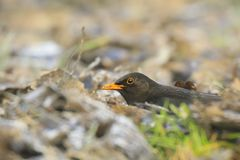 Male Blackbird turdus merula bird searching food on the forest. Floor. Only the head is sticking out the Autumn leaves Royalty Free Stock Photo