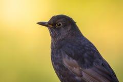 Male blackbird bright  backgound Royalty Free Stock Photos