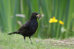 Male Blackbird (Turdus merula). Collecting food for its' young Stock Photography
