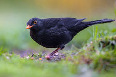 Male blackbird. Turdus merula eating from the ground in an ecological garden with green background and looking at the camera stock photography