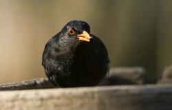 A stunning male Blackbird Turdus merula eating a seed. A male Blackbird Turdus merula eating a seed Stock Photos