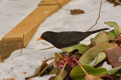 Male blackbird turdus merula looking for food in the snow. Handsome, male blackbird turdus merula foraging for mealworms thrown onto snow Stock Photography
