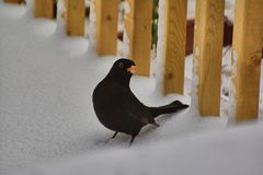 Male blackbird turdus merula looking for food in the snow. Handsome, male blackbird turdus merula, beak covered in snow, hoping  for more mealworms to be thrown Royalty Free Stock Photos