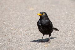 Male blackbird  turdus merula standing in sunlight on concrete footpath royalty free stock photos
