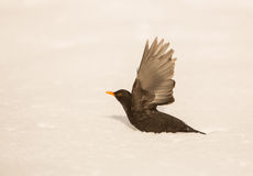 Blackbird taking off Stock Images