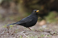 Male Blackbird Royaltyfria Foton