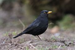 Male Blackbird Arkivbilder