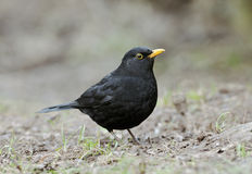 Male Blackbird Royaltyfri Foto