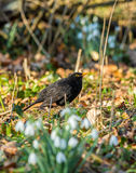 Male blackbird Royalty Free Stock Photography