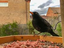 Male blackbird on wooden bird table royalty free stock image