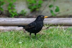 Male BlackbirdTurdus Merula royaltyfria bilder