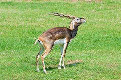 Male blackbuck royaltyfria foton