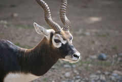 Male Blackbuck. (Antilope cervicapra), antelope species native to the Indian Subcontinent Stock Photos