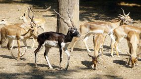 A male blackbuck with female blackbucks. The blackbuck / Antilope Cervicapra is an antelope native to the Indian subcontinent. The male blackbuck is larger than royalty free stock photography