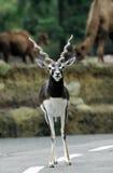 Male blackbuck Indian. (Antilope cervicapra) on road Stock Photo