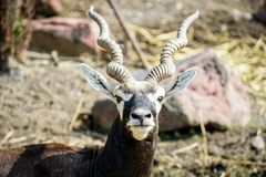 A male blackbuck in the zoo stock images