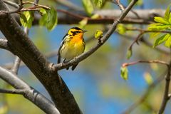 Blackburnian Warbler. Male Blackburnian Warbler perched on a branch. Ashbridges Bay Park, Toronto, Ontario, Canada Royalty Free Stock Images