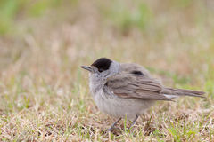Male Blackcap Royalty Free Stock Photo
