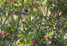 Male Blackcap Royalty Free Stock Images