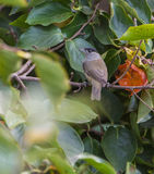 Male Blackcap eating a Kaki fruit Royalty Free Stock Image