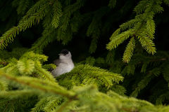 Male blackcap Royalty Free Stock Photography