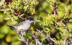 Male Blackcap on Shrubbery Stock Images