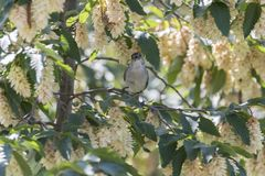 Male blackcap singing on tree. Cute male blackcap singing on tree Royalty Free Stock Image