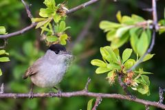 Male Blackcap Sylvia atricapilla with building material in beak royalty free stock photos