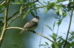 A stunning male Blackcap Sylvia atricapilla perching on the branch of a tree singing. A male Blackcap Sylvia atricapilla perching on the branch of a tree Stock Images
